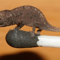 Pictures: Miniature Chameleons Discovered—Fit on Match Tip. (The only way this could be cuter is if it were a tiny platypus...)